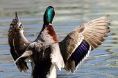 A Mallard Drake With Outstretched Flapping Wings poster