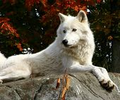 picture of white wolf  - on a fall day - JPG