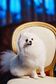 A Cute Pomeranian Dog Lounging On A Leather Armchair poster