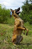 Dog Playing Outdoors. Full-length Shot Of A Dog Playing. Malinois Dog Playing. Portrait Of A Malinoi poster