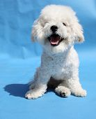 Bichon Frise Puppy. A 9 month old Bichon Frise Dog smiles in a studio photo shoot.  poster
