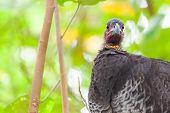 Brush-turkey Native Australian Bird Closeup On Green Background. poster