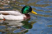 A Male Mallard Drake Swimming In Water Above His Reflection poster