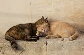 Two Cats, Brown And Yellow, Sleeping Near Each Together On Sunny Day. Valletta, Malta, Barraka Garde poster