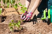 Seasonal Planting Of Plant Vegetables. Female Farmer Planting Seedling Plant Of Pepper With Leaves I poster