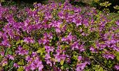 The Magnificent Bloom Of The A Bush Of Pink Rhododendron In The Garden In Spring. Rhododendron Poukh poster