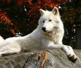 pic of white wolf  - on a fall day - JPG