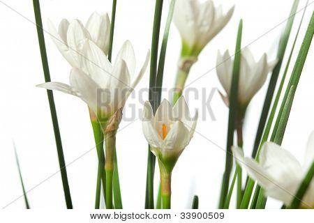 lirios aislados sobre un fondo blanco. Zephyranthes candida