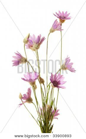 Wildflowers isolated on white background. Immortelle