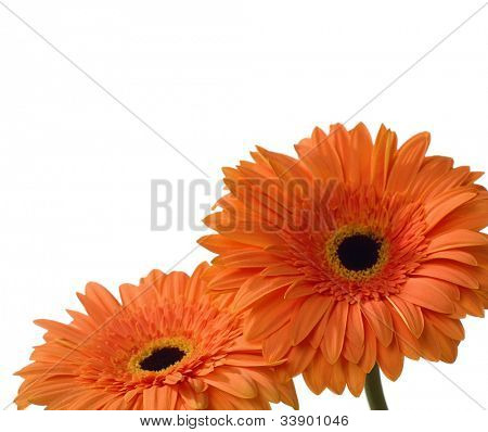 two orange gebera isolated on white