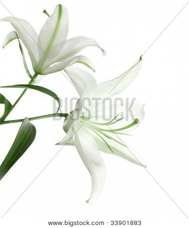 two white lily isolated on white background