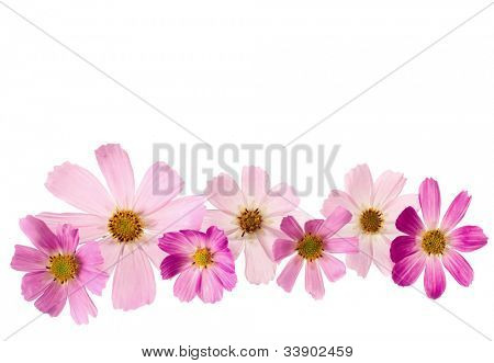 pink flowers on a white background. Cosmea