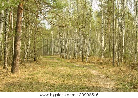 Pathway  through wood. Early spring.  Russia. Moscow area