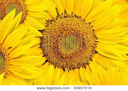 background made of beautiful yellow sunflowers