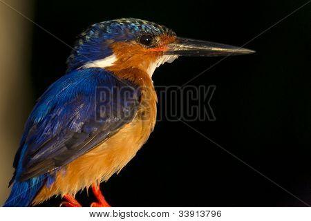 Malagasy Kingfisher (Alcedo vintsioides)