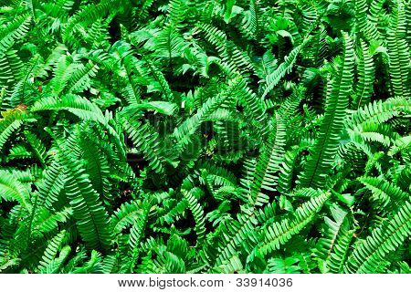 The Clump Of The Green Fern