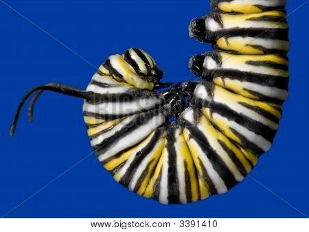 Monarch Caterpillar Getting Ready To Transform