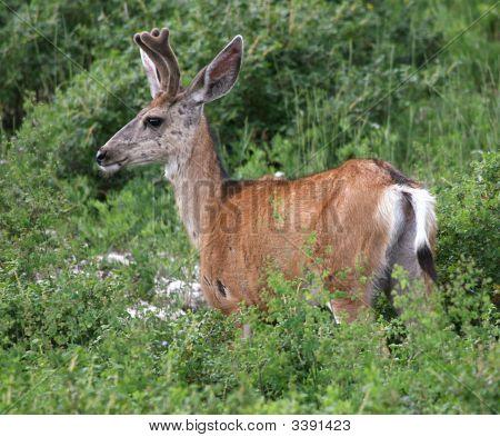 Adolescent Two Point Buck In Velvet