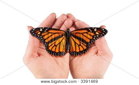 Monarch Butterfly In Female Hands. Includes Clipping Path Around Hands And Butterfly