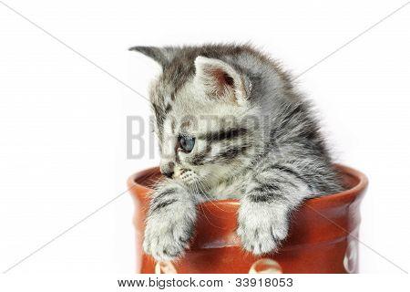 Kitten in a milkjug