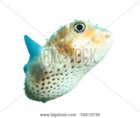Yellowspotted Burrfish isolated on white background