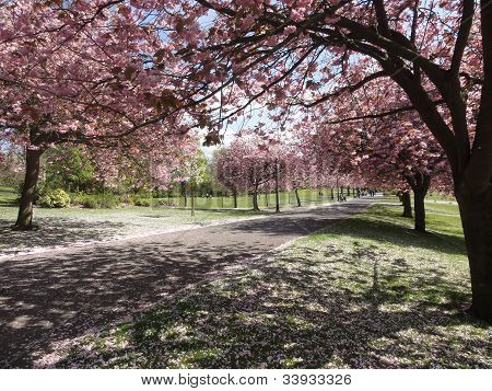 Blossoming Oriental cherry