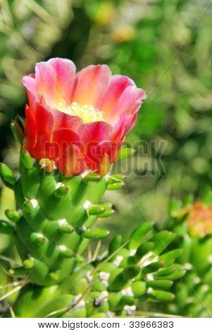 Flower Of Wild Cactus