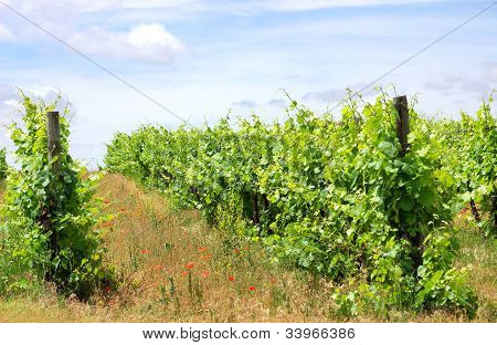 Vineyard At South Of Portugal, Alentejo Region.
