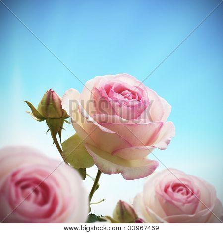pink rosebush or rose tree