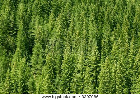Forest Of Pine Tree