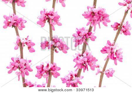 Chinese redbud flower