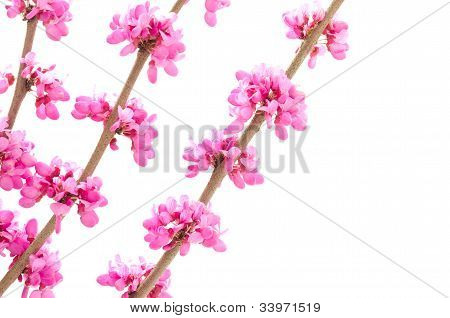 Chinese redbud in left side