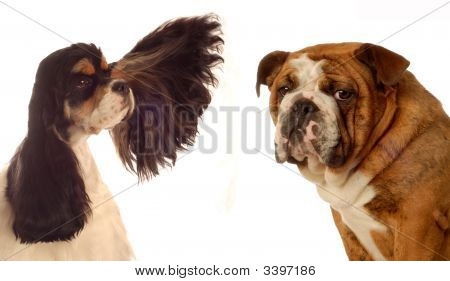 Cocker Spaniel With Ear Out And Bulldog