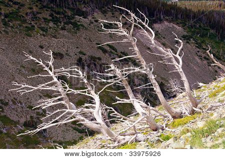 Bleached Tree Trunks On A Mountain Slope