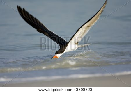 Black Skimmer Working On The Surf Near The Beach