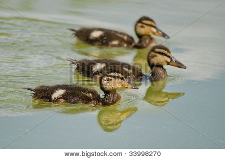 Formation of young ducks