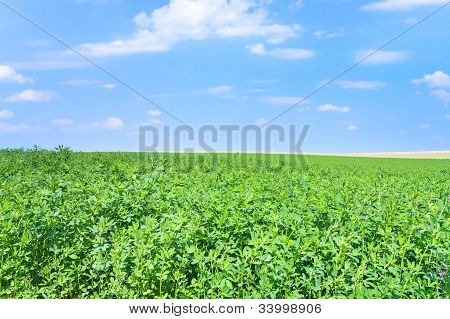 Green Lucerne Field Under Blue Sky