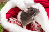 Cute White Domestic Rat In A New Years Decor. A Cute Rat Is Sitting In Santas Hat Next To Her Are Bo poster