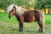 Brown Pony With White Mane Grazing On Green Meadow Near Forest At Sunset poster