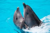 image of oceanography  - Two dolphins swim in the pool in blue water