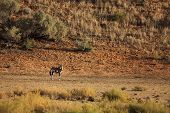 The Gemsbok Or Gemsbuck (oryx Gazella) Standing On The Red Sand Dune With Red Sand And Dry Grass Aro poster