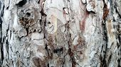 The Bark Of An Old Thick Tree. Light Gray Trunk With Dark Cracks. Wood Texture. Tissues Located Outs poster