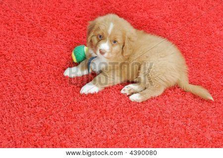 Nova Scotia Duck Toller Puppy