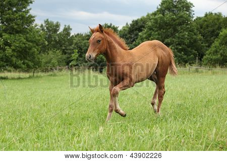Filly Of Sorrel Solid Paint Horse
