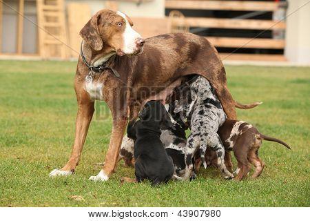 Louisiana Catahoula Bitch With Puppies