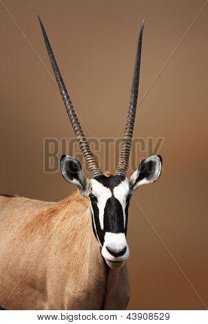 Retrato de Gemsbok en Etosha desierto (oryx gazella)