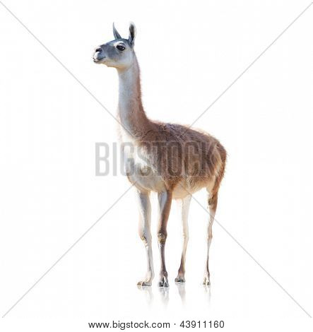 Portrait Of Llama Isolated On White Background