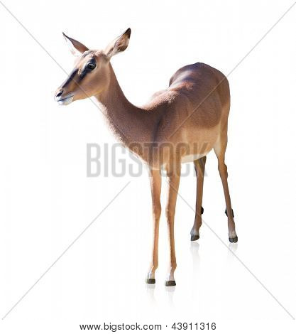 Portrait Of Deer Isolated On White Background