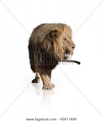 Portrait Of Lion Isolated On White Background