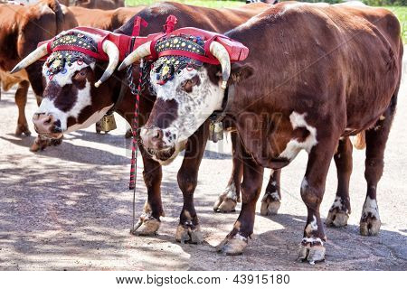 Team of oxen with a traditional decorated yoke.